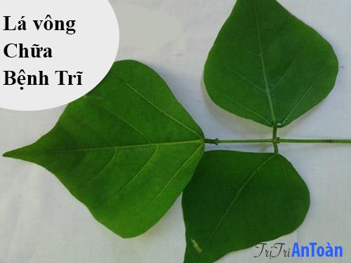cách chữa bệnh trĩ bằng cây thuốc nam lá vông