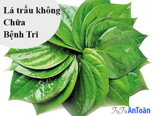 cách chữa bệnh trĩ bằng cây thuốc nam lá trầu không