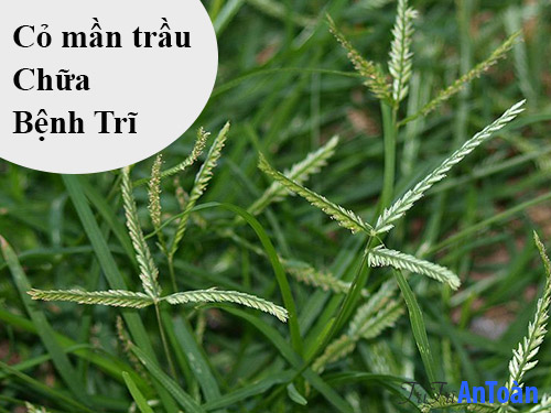 cách chữa bệnh trĩ bằng cây thuốc nam cỏ mần trầu
