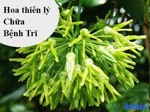 cách chữa bệnh trĩ bằng cây thuốc nam hoa thiên lý