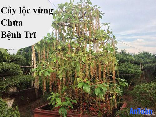 cách chữa bệnh trĩ bằng cây thuốc nam cây lộc vừng