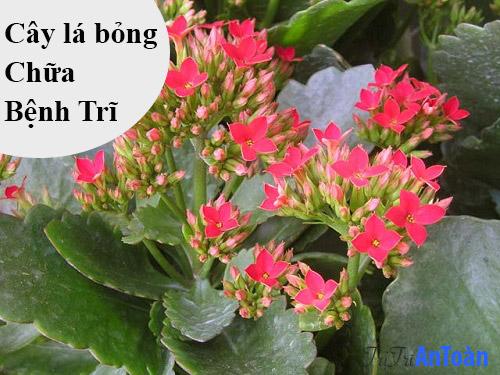 cách chữa bệnh trĩ bằng cây thuốc nam cây lá bỏng