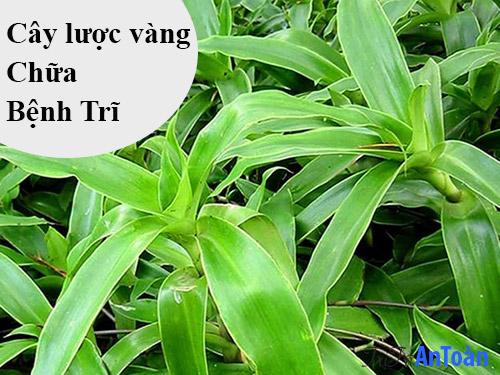 cách chữa bệnh trĩ bằng cây thuốc nam cây lược vàng