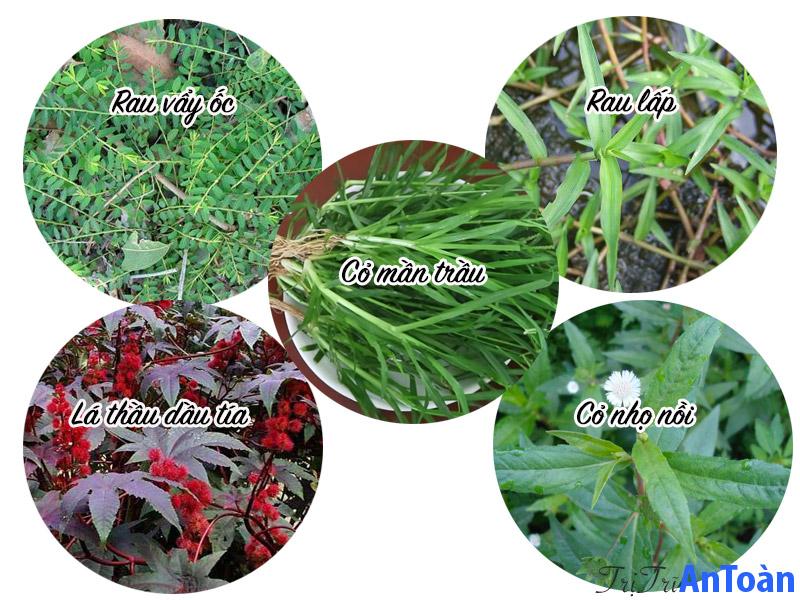 cỏ mần trầu chữa bệnh trĩ bài thuốc